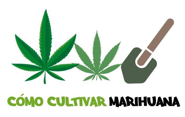 Guía cómo plantar marihuana. Guía cómo cultivar marihuana paso a paso.