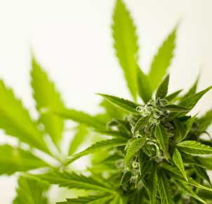 Cultivo cannabis mini scrog.