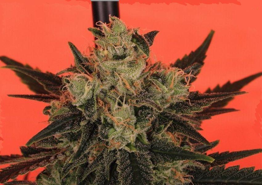 Seguimiento cultivo cannabis organicoco recoco