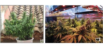 Cultivo de interior marihuana y cultivo de exterior marihuana