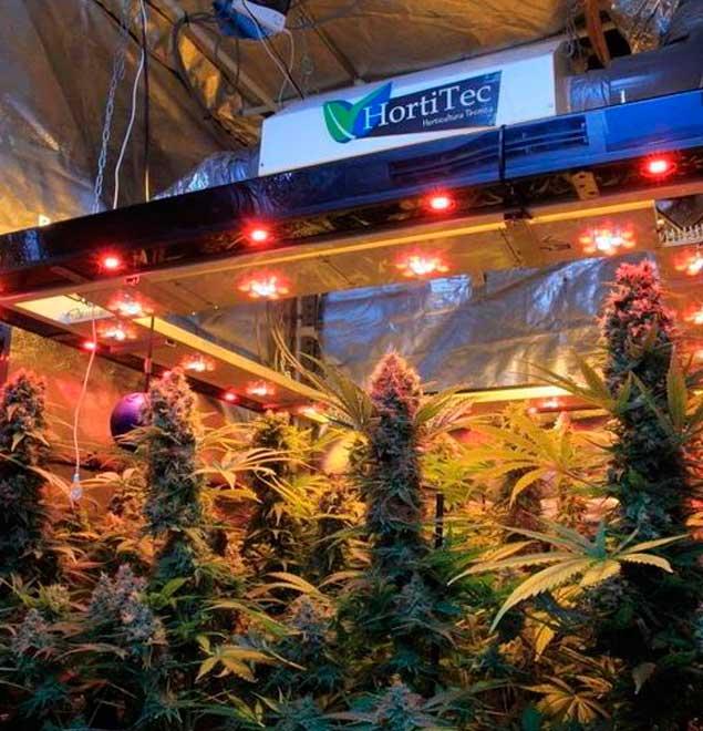 Seguimiento de Marihuana con semillas regulares