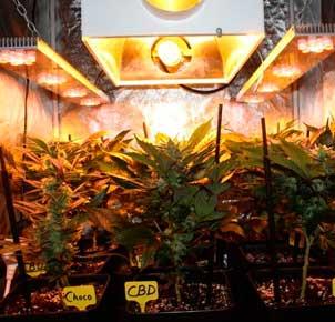 Seguimiento cultivo marihuana 9 apellidos verdes