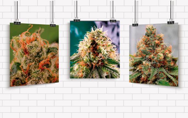 Galería Cannábica: Maravillas cannábicas, fotografías de mariuhana, fotos de marihuana