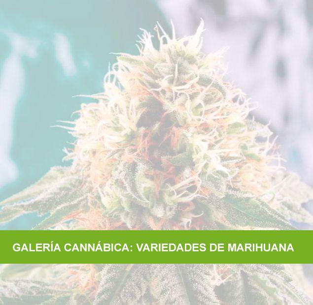 Galería cannábica, variedades de marihuana