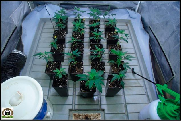 Macetas y bandejas para el cultivo de marihuana