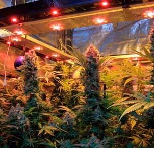 Seguimiento cultivo  marihuana con semilas regulares