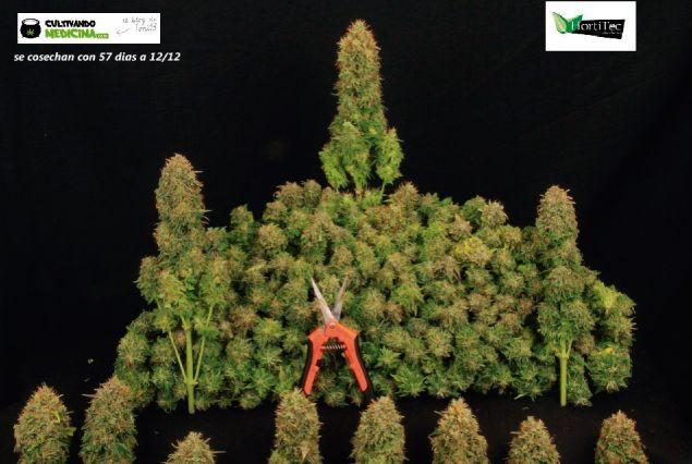 Productos para cultivo de marihuana. Cómo podar la planta de marihuana
