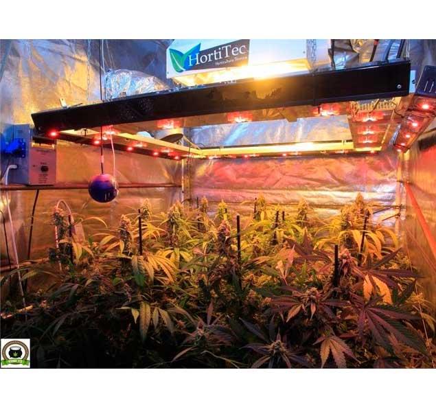 Seguimiento cultivo coco y choco con esquejes de marihuana clones élite