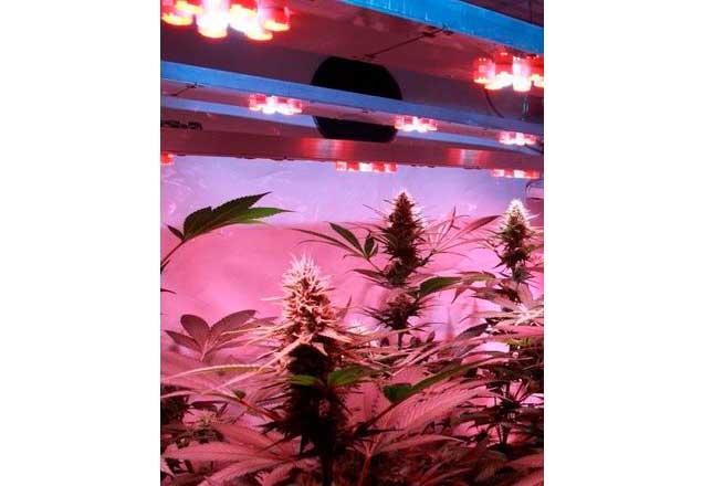 Cultivo de Marihuana en dos armarios de cultivo
