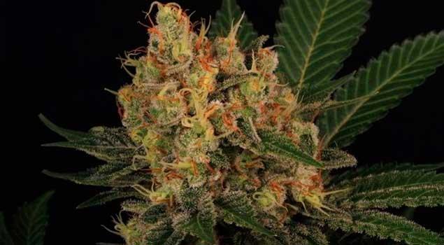 Cultivo Marihuana de interior doble de 4 en 4