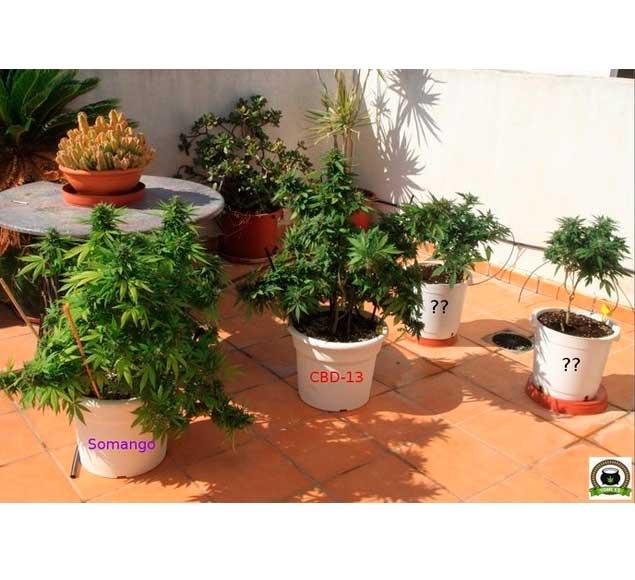 Seguimiento de cultivo de cannabis exterior
