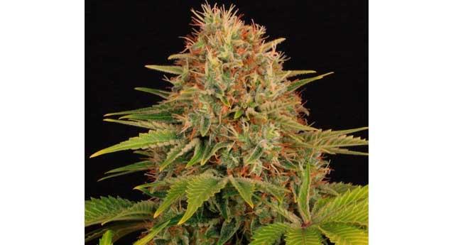 Seguimiento Maestro: Cultivo de Marihuana Interior