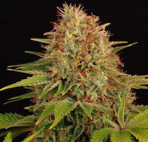 Seguimiento cultivo marihuana maestro.