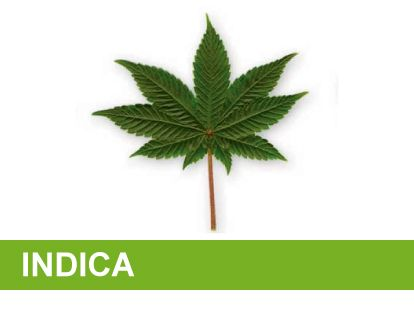 Variedad marihuana indica