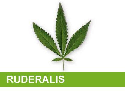Variedad marihuana rudelaris