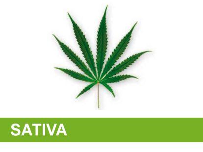 Variedad marihuana sativa