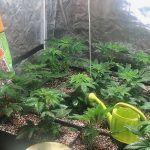 9- Trasladamos las plantas de marihuana al armario de floración