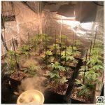 10- Preparativos para pasar a floración el cultivo de marihuana medicinal