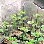 11- Dos primeras semanas de floración y de intensos cambios en el cultivo