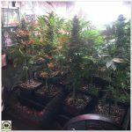14- Entrada final del seguimiento de marihuana Cyco, cosecha y análisis