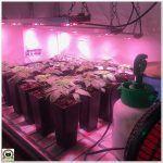 7- Cultivo marihuana medicinal – primera poda de ramas bajas
