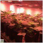 8- Homogeneizo el cultivo de marihuana antes del transplante final