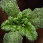 Investigación: ¿Adiós a las plagas de tu cultivo de marihuana?
