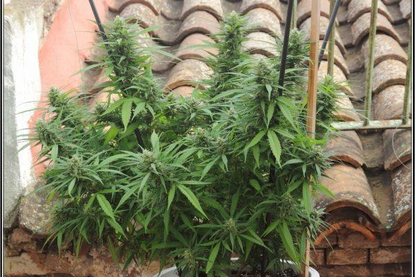 cultivo exterior marihuana.
