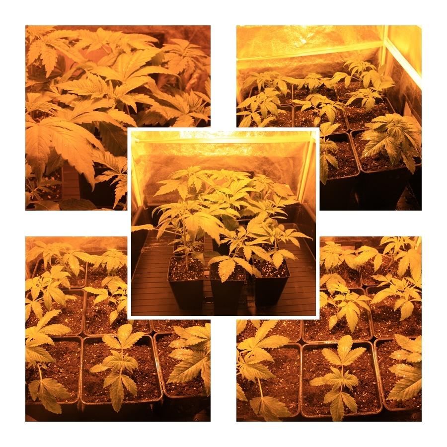 Primer cultivo de marihuana lec 1