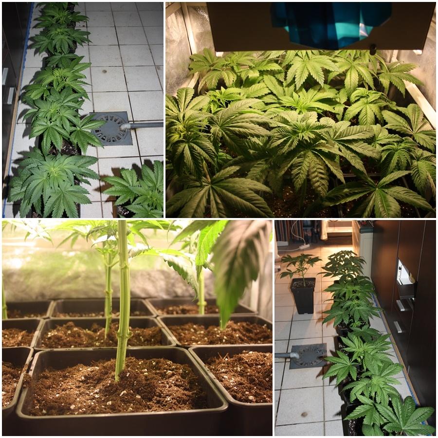 Primer cultivo de marihuana lec 2