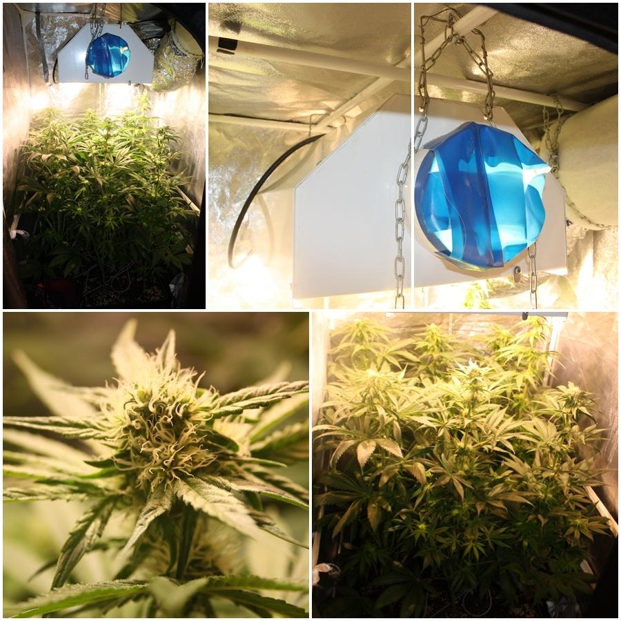 Primer cultivo de marihuana lec 4