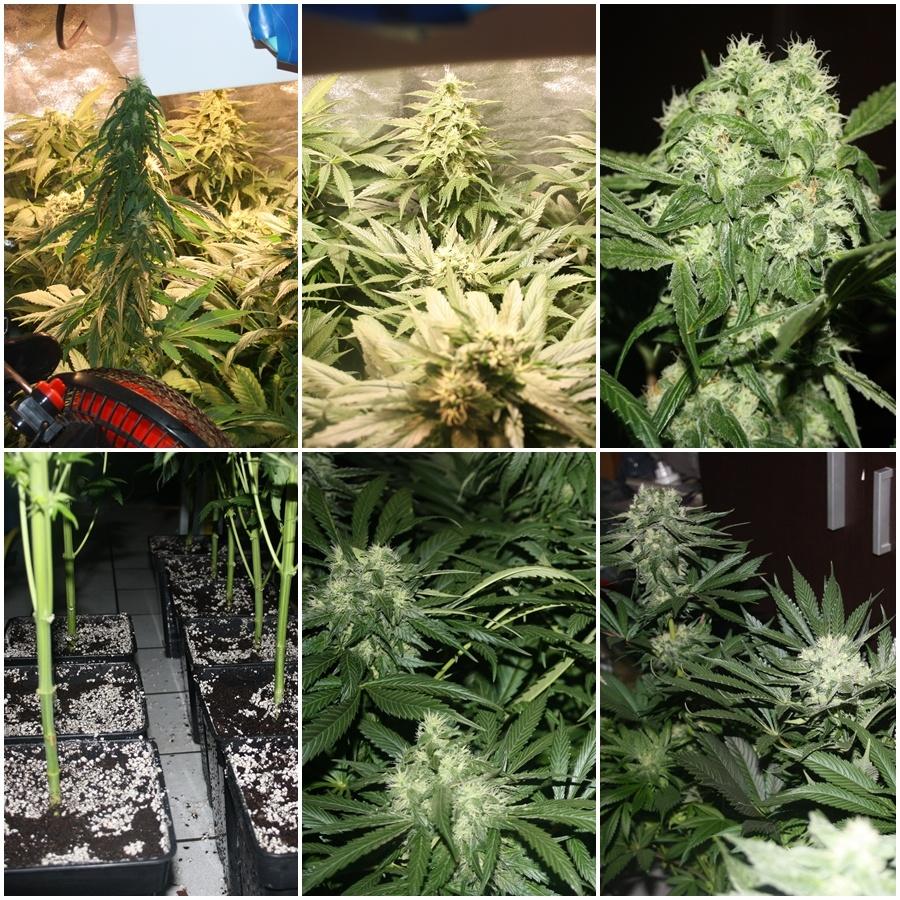 Primer cultivo de marihuana lec 315w 5