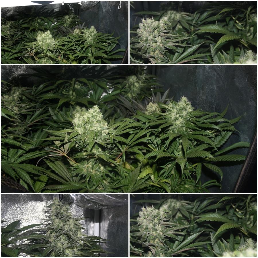 Primer cultivo de marihuana lec 315w 6