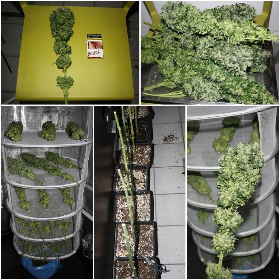 Primer cultivo de marihuana lec 315w 7