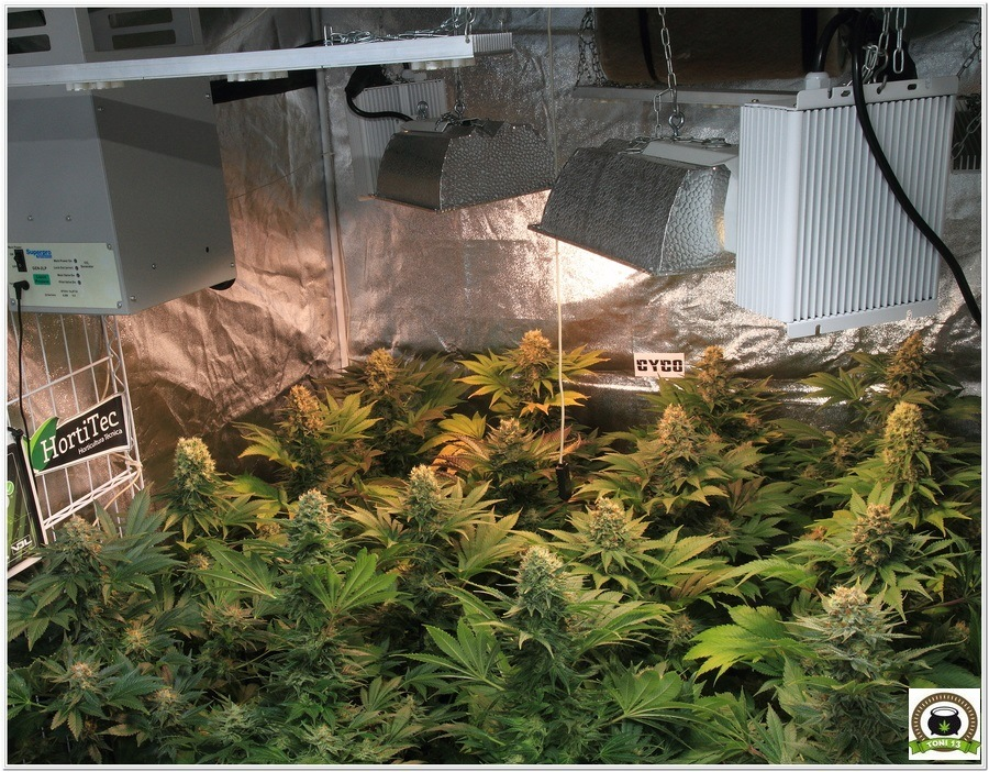 análisis LEC 315 vatiosselecta Solux cultivos marihuana