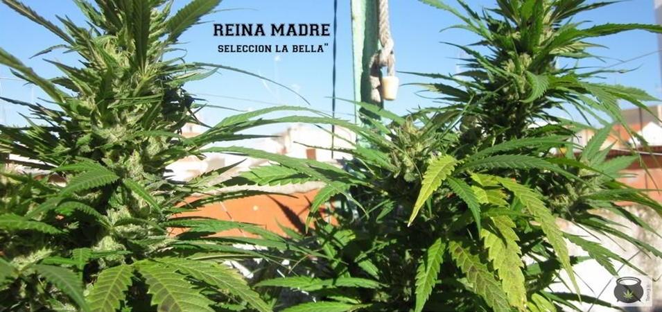 errores en el cultivo de marihuana