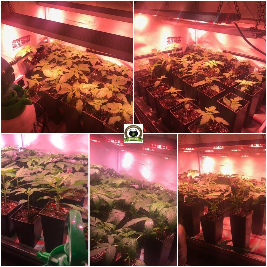 Cultivo marihuana LEC Low Cost con luminaria de 315W 2