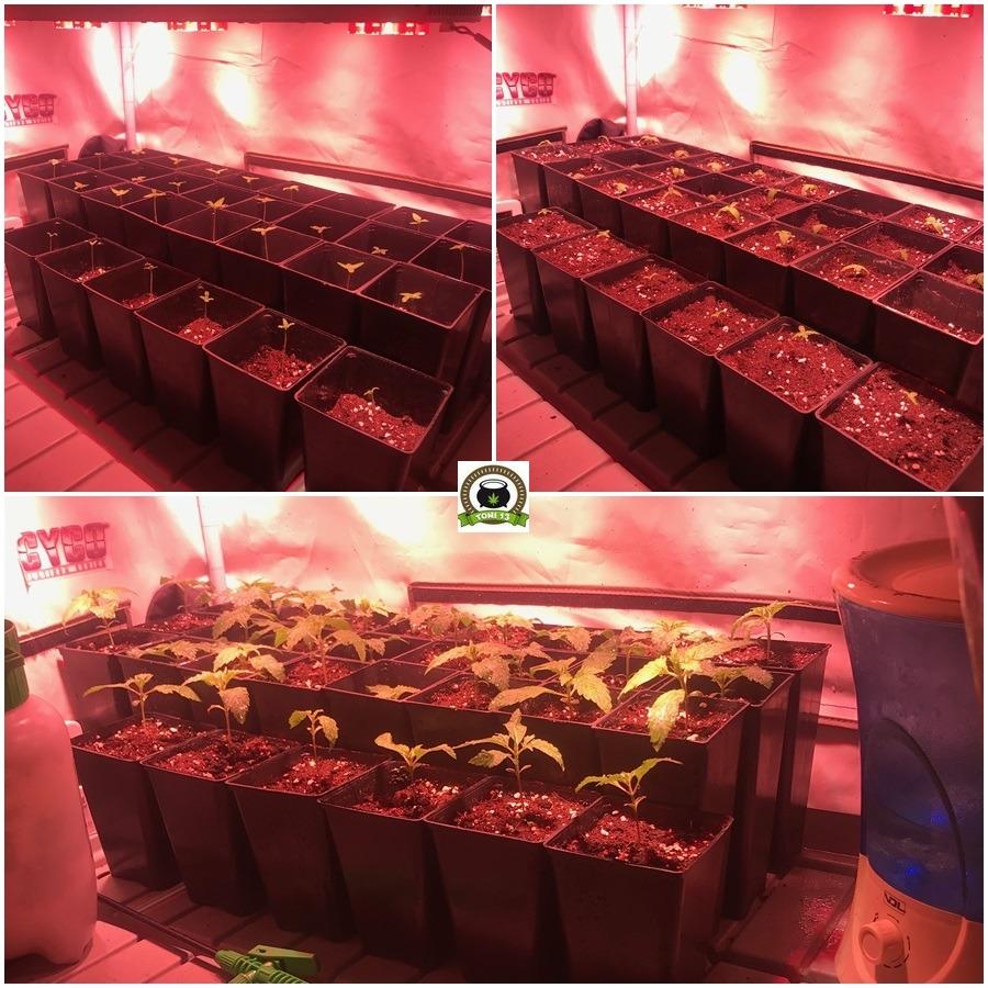 Cultivo marihuana LEC Low Cost con luminaria de 315W 1