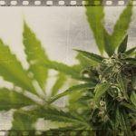 Los 9 documentales de marihuana que tienes que ver