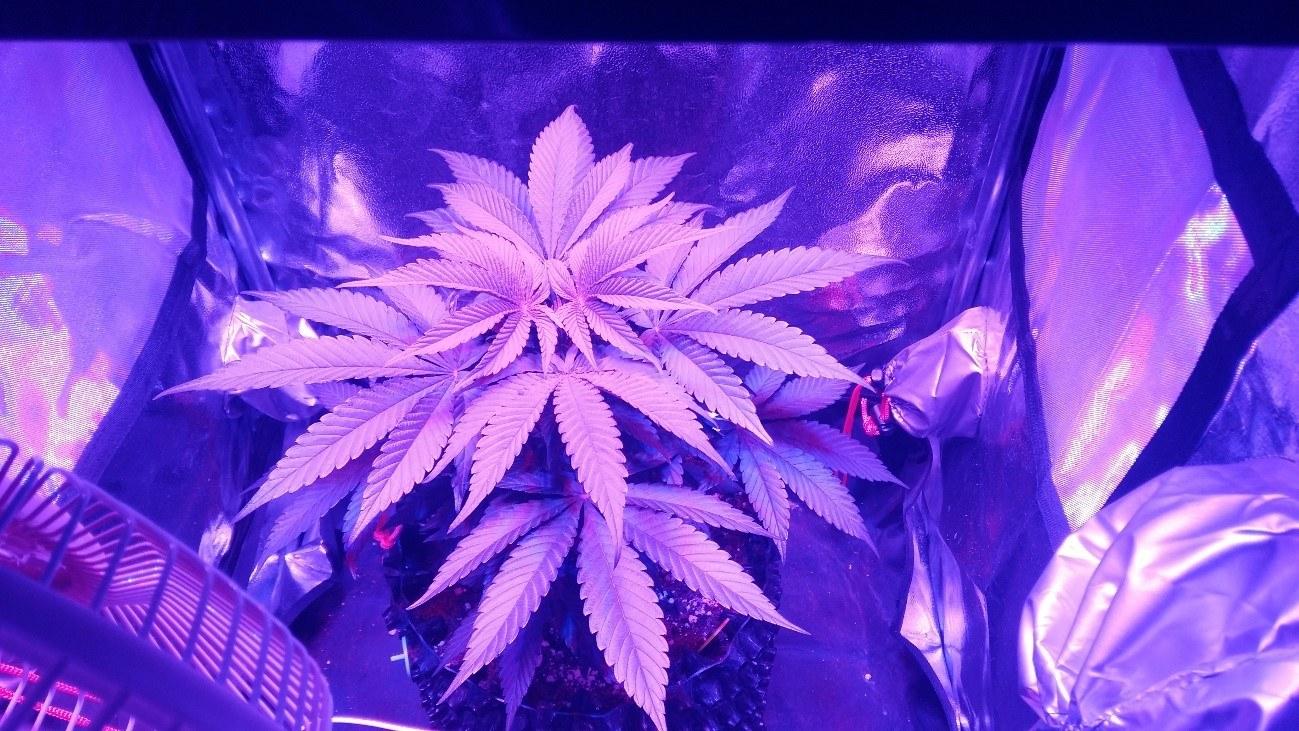 Cultivo de marihuana bajo consumo indoor Black DOG 3