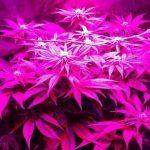 Pequeño Cultivo de marihuana bajo consumo LED Indoor Black DOG