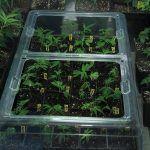 Cuándo y cómo pulverizar las plantas de marihuana