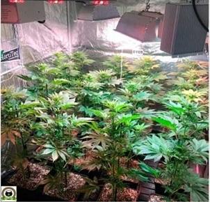 Cultivo Marihuana Medicinal con abonos farmacéuticos. Seguimiento de cultivo de marihuana completado.