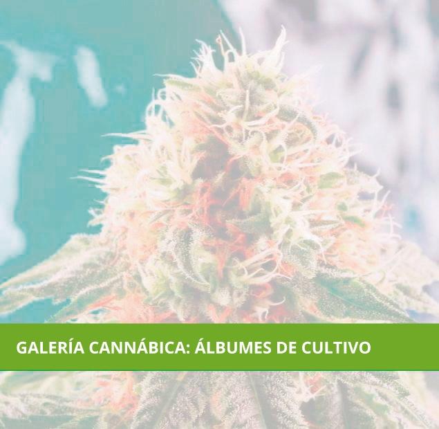 Galería Cannábica: Álbumes de cultivo. Fotos Marihuana.