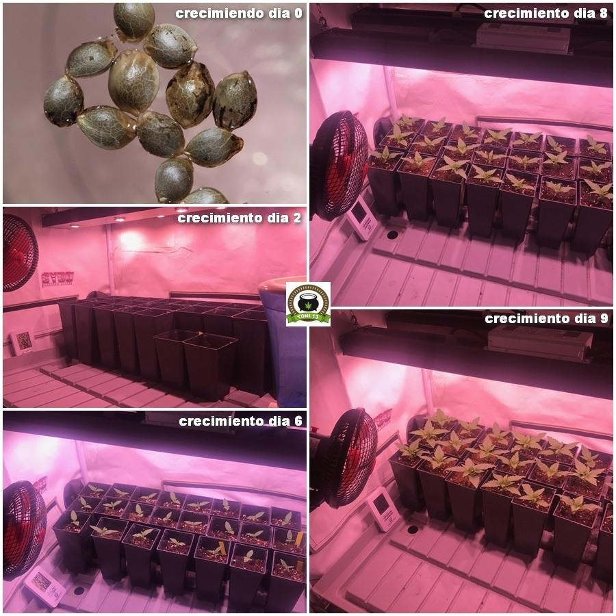 crecimiento de marihuana más rápido 1