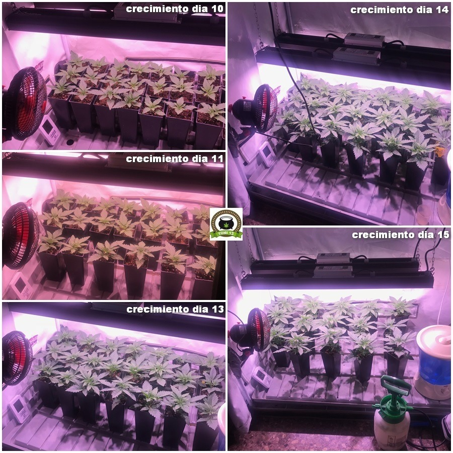 crecimiento de marihuana más rápido 2