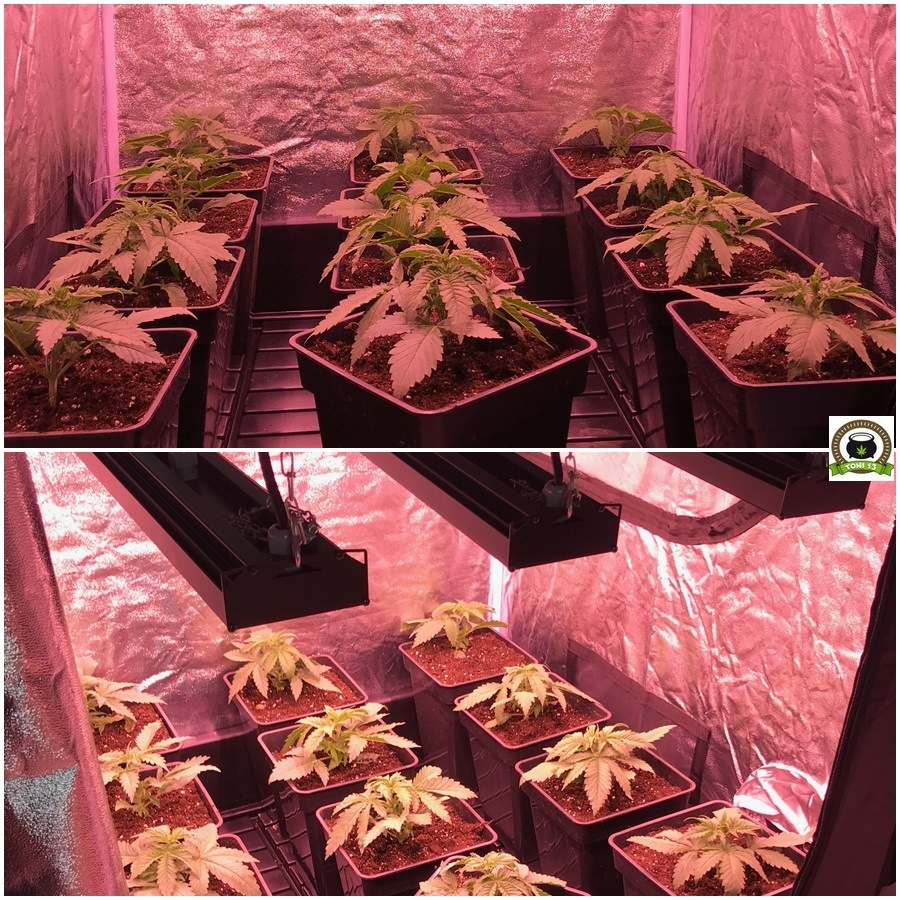 crecimiento de marihuana más rápido 3