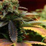 9 curiosidades de la marihuana que seguro que no conoces