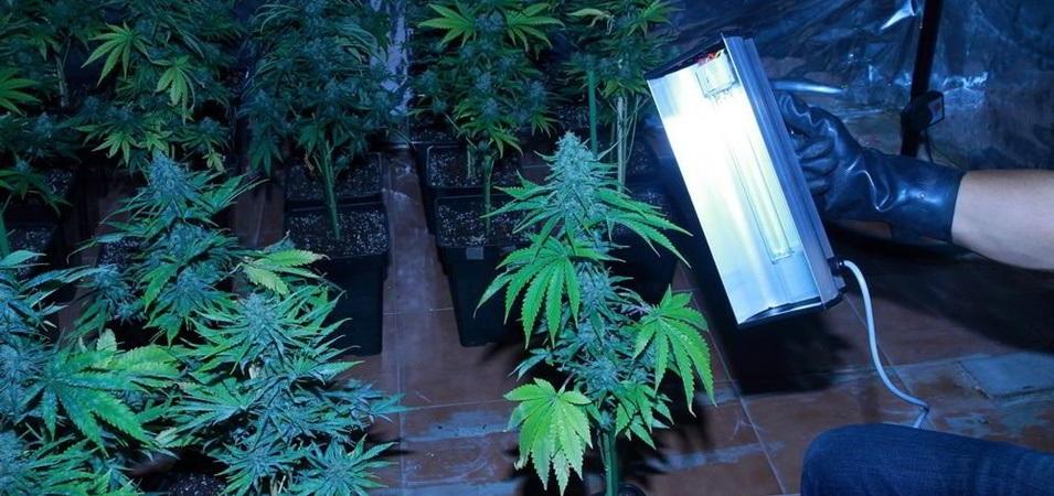 Guía cómo actuar contra el oidio en plantas de marihuana paso a paso. Como prevenir los hongos en las plantas de marihuana.
