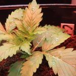 Cómo cultivar variedades autoflorecientes de marihuana en exterior o interior